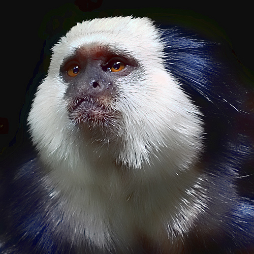 Geoffroy's Marmoset on Black